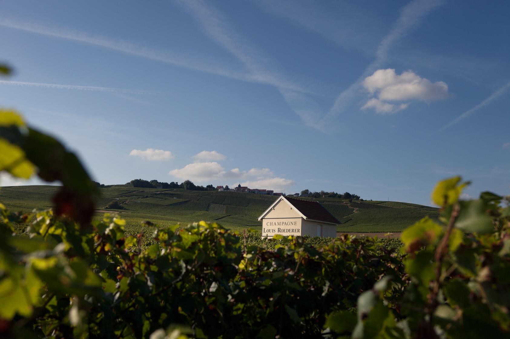 ルイ・ロデレール社は大手シャンパーニュ・メゾンとしては珍しい242haもの自社畑を所有している。
